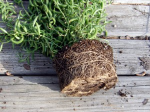 This photo shows the importance of natural vegetation and roots in soil stabilization.