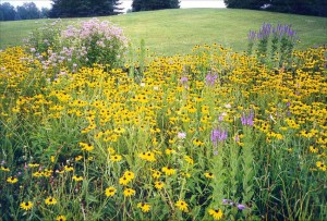 Using native plants in your gardening is not only beautiful, but functional.