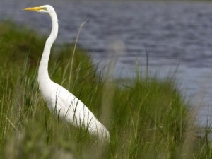 The Great Egret is a common bird of the New Jersey Shore, living in estuaries and bays where it has a wide variety of food sources.