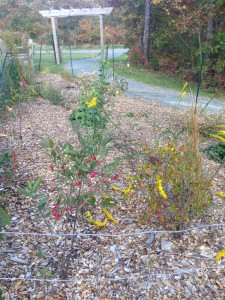The rain garden perennials in bloom, October 2014.