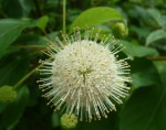 cephalanthus-occidentalis-d-420x330